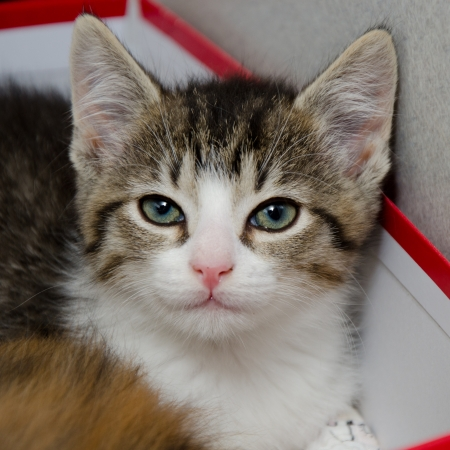 straight faced: white faced tabby in a shoe box with a cute pink nose and mouth looking straight at the camera Stock Photo