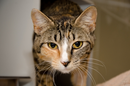 toward: cat tabby cat with white nose stretching toward the camera Stock Photo