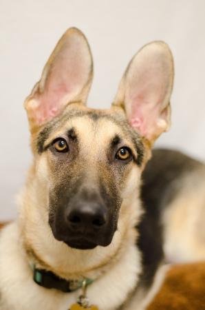 sheppard: German Sheppard Dog