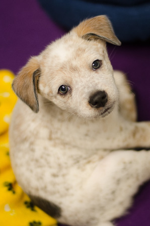 cattle dog puppy looking at lens