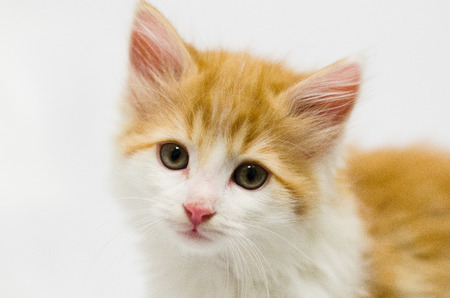 orange and white fluffy kitten on white looking at camera Фото со стока