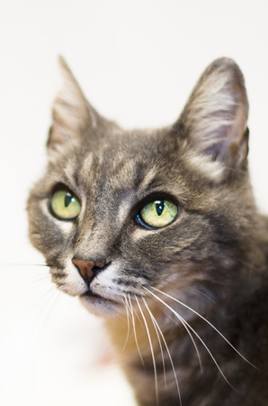 Portrait of green eyed grey tabby on white background Фото со стока