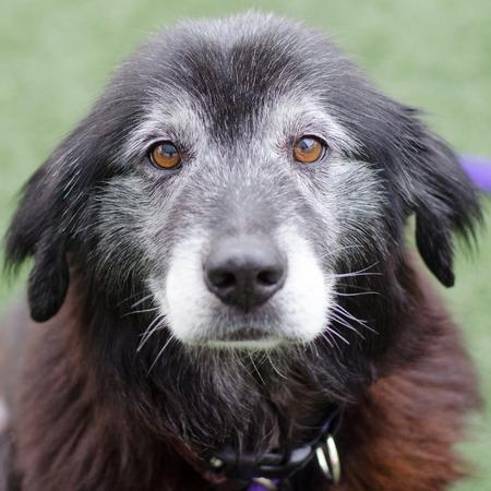old dog looking at camera