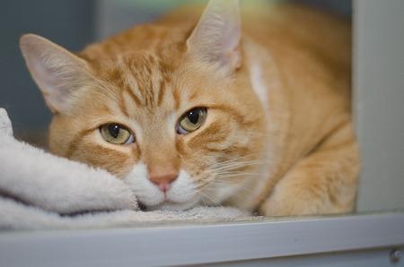 gato naranja: gato grande de color naranja