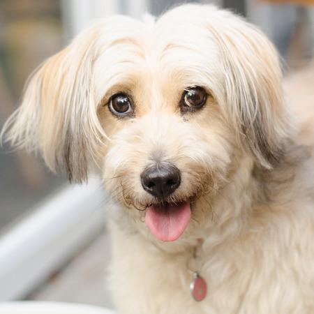 longer: dog white longer hair smiling