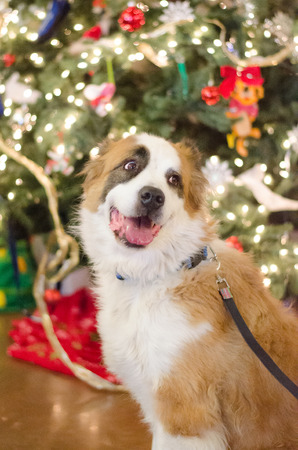 st  bernard: St. Bernard Mix ready for Christmas