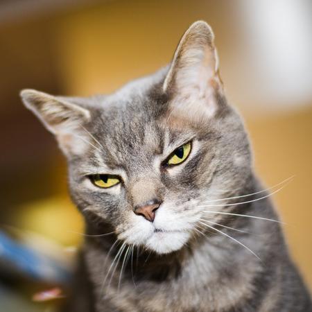 mean looking grey cat