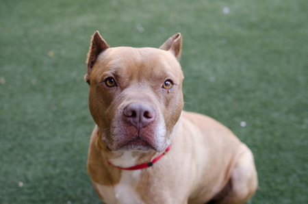 pit bull: Pit bull with cropped ears Stock Photo
