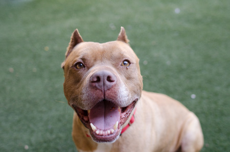 spay: pit bull with cropped ears smiling Stock Photo
