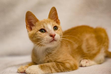 orange young cat white background