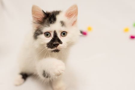black nosed white kitten space for text