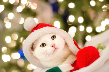 Christmas Sparkle with white cat