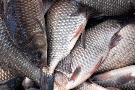 gibel: Fresh river fish