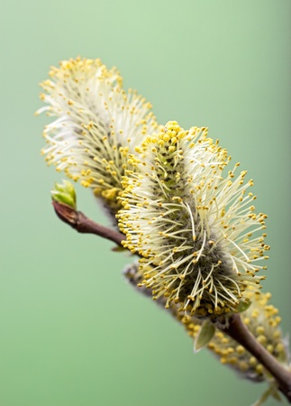 Branch with salix flower with leaf on green background. Macro. Copy-space.