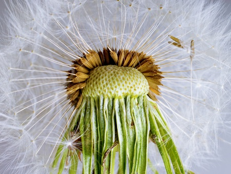 The Dandelion. Macro photo of seeds over light background.