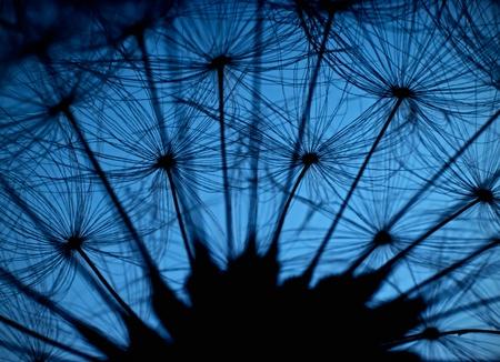 hairy closeup: Last dandelion
