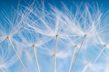 The Dandelion. Macro photo of light seeds over light blue background.