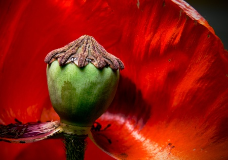 Abstract red open poppy flower. Macro. photo