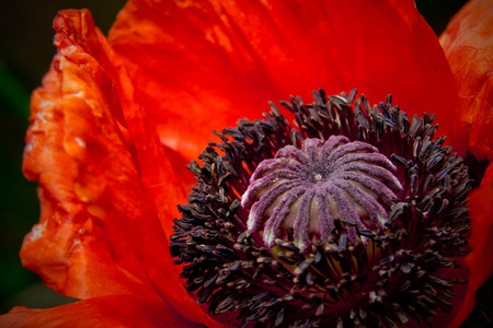 Abstract red open poppy flower. Macro.