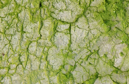 The old concrete abstract texture with cracks and green mold. photo