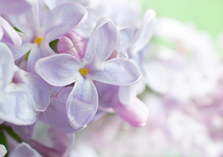 Beautiful spring background with lilac bouquet.  Stock Photo