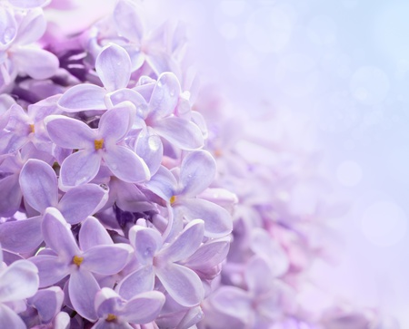 lilac: Just blooming lilac flowers. Abstract background. Macro photo.