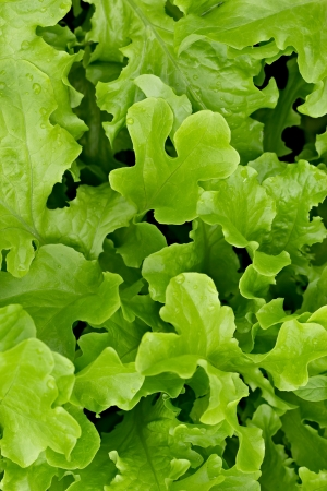 salad leaves on a bed photo