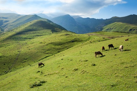 Cows grazing on a green slope of mountains