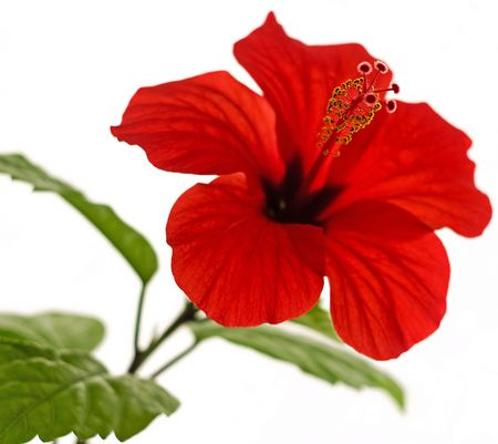 single line: Isolated red hibiscus with five yellow stamen