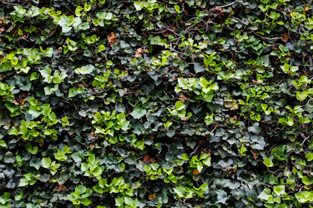 Ivy wall texture