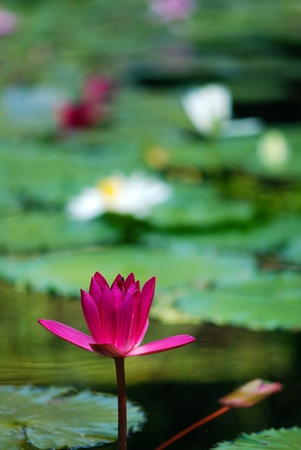 Red color lotus flower Stock Photo