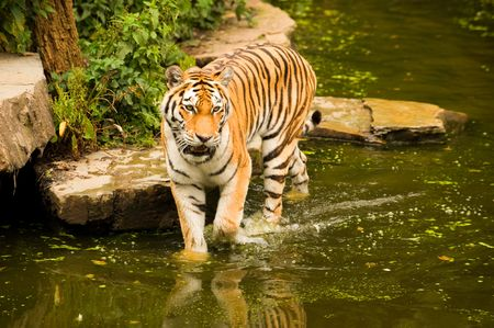 A majestic Bengal tiger wading in a lake
