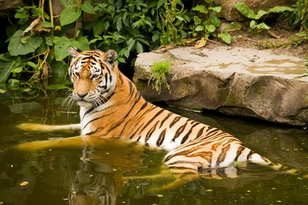 majestic bengal tiger bathing in a lake