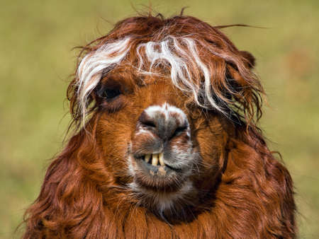 Lächeln Alpaka