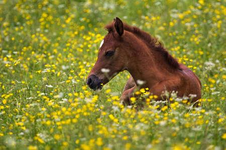 buttercups: Arabian foal in the buttercups