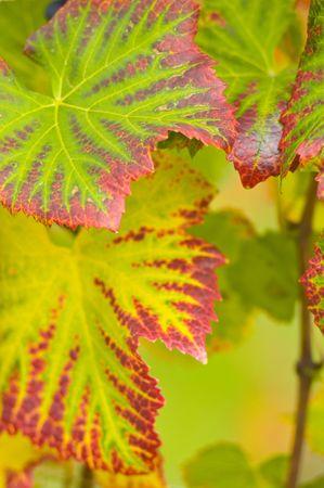 wijnbladeren: kleurrijke druivenbladeren