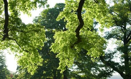 broadleaved tree: luscious grenn  broadleaf  trees enjoy the sun in springtime