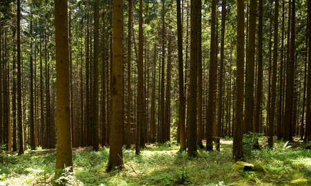 brushwood: in the brush-wood between fir trees in Black Forest