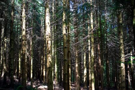 boles: between boles in the fir forest