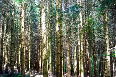 conifers: brush between conifers Stock Photo