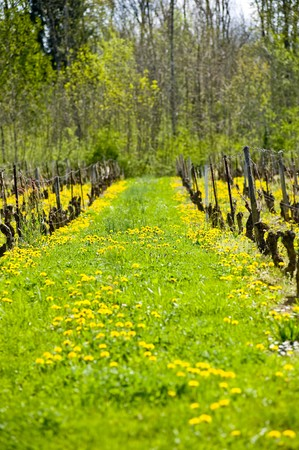 viniculture: viniculture in south france between green grass and yellow dandelion