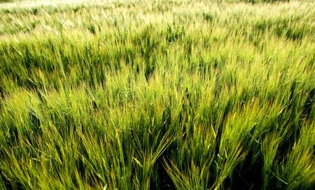 feedstock: cornfield in the wind in evening sun
