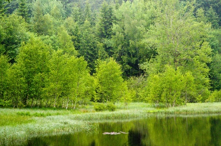 luscious: rainy day in summer at the green and luscious forest lake