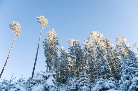 winterly: grove of pine trees and conifers in white winterly gorgeousness Stock Photo
