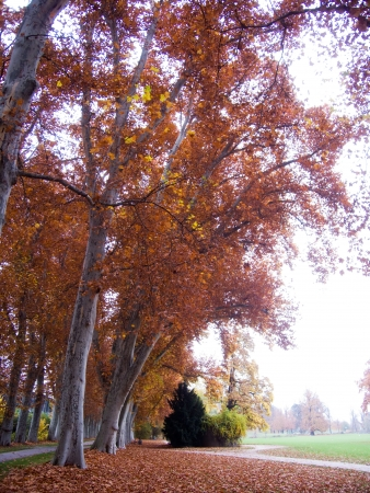 amber coloured: colored alley of planes and a bottom covered with leaves next to a green meadow in atumn