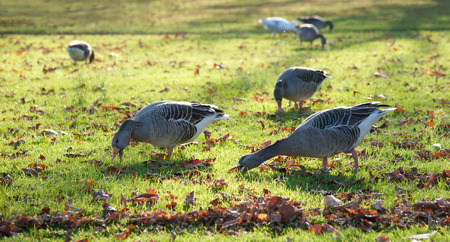 greylag: eating geese on an autumnal meadow
