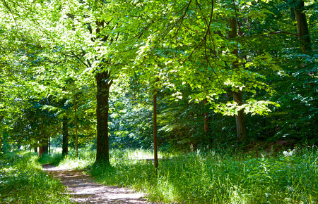 shady: shady path under green trees in the forest in summertime