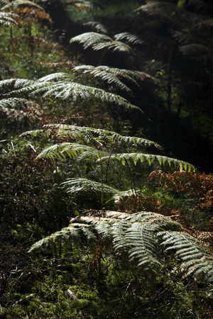 shady: green fern in back light on shady ground in the forest