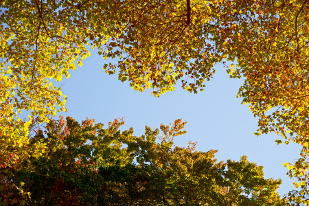 autumnal tree tops under a blue cloudless sky in worms eye view photo