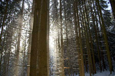 boles: driving snow in a coniferous forest between the boles